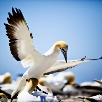 Gannet Bikes, Cape Kidnappers, Hawke's Bay, New Zealand